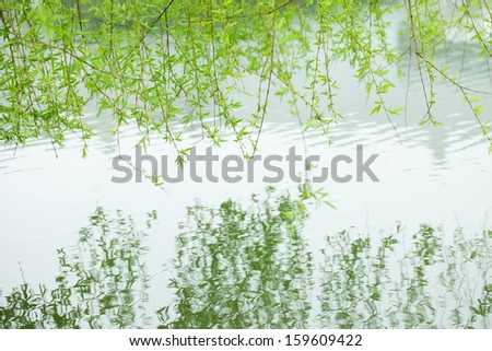 green willow branch reflection in the water in spring season