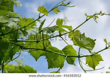 green wine leaves against a blue sky - stock photo