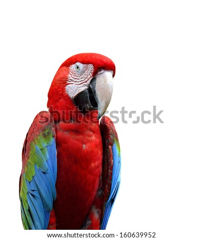 Green-winged Macaw birds, red parrots isolated on white background