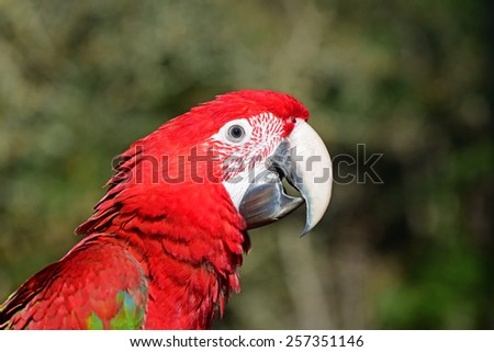 Green Winged Macaw. Close Up of Face