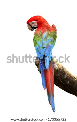 Green-winged Macaw parrot bird isolated on white background - stock photo