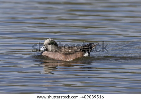 Green Winged Teal - stock photo