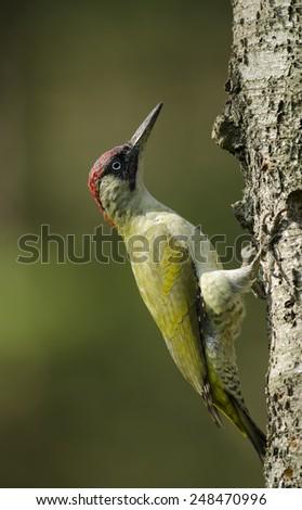 Green woodpecker - stock photo