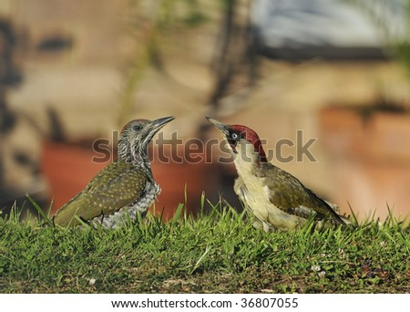 Green Woodpecker Adult and chick - Picus viridis - stock photo