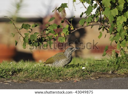 Green Woodpecker chick - Picus viridis - stock photo