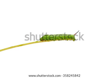 Green  worm   on plant stick on white background ,with clipping path - stock photo
