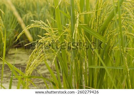 Green, yellow paddy rice field, Thailand - stock photo