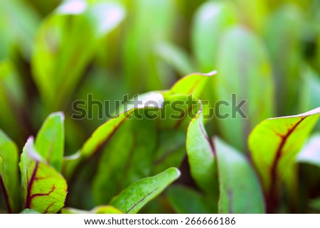 Green young beet sprouts. Macro image. - stock photo