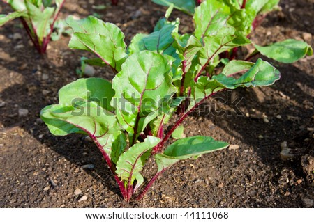green young beet sprouts on a bed in shallow DOF - stock photo