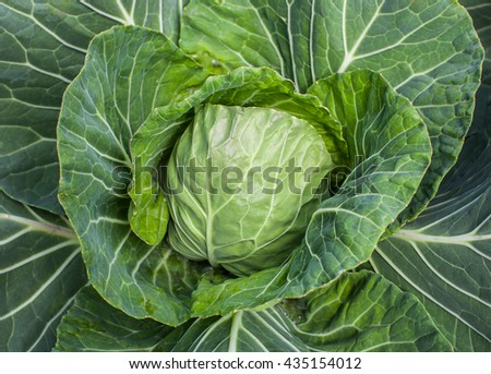 Green young cabbage growing in the garden. Harvesting cabbage.