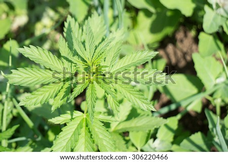 Green Young Cannabis plant (hemp)