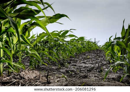 Green young corn closeup on field - stock photo
