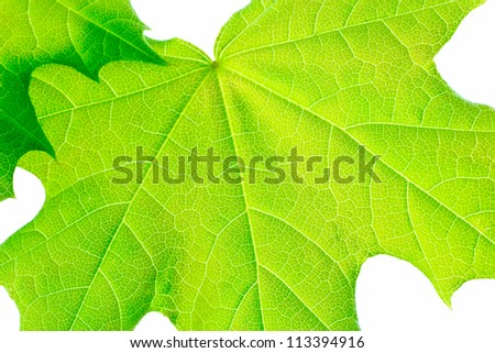 Green young leaves of the maple, isolated on a white background. - stock photo