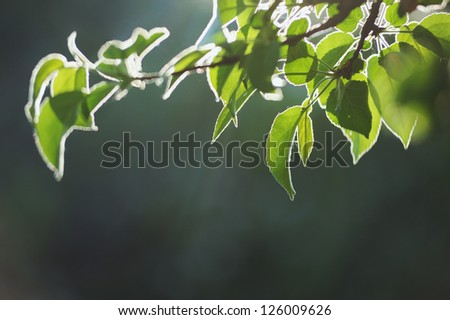 Green young leaves tree branch in bright backlighting - stock photo