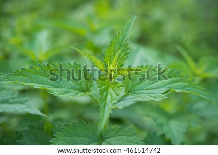 Green young nettle grows in summer