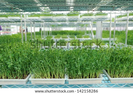 green young pea Greenhouse - stock photo