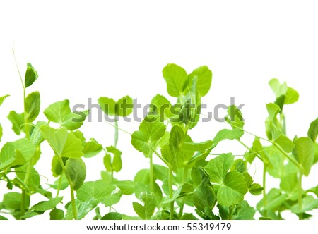 green young pea shoots isolated on white; - stock photo