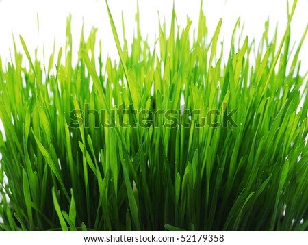 green young sprouts of wheat with tears of dew - stock photo