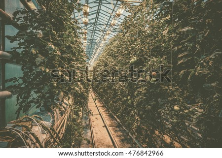 Greenery with tomato plants on a row