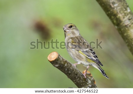 Greenfinch - stock photo