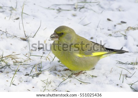 Greenfinch adult male in natural habitat in winter / Chloris chloris