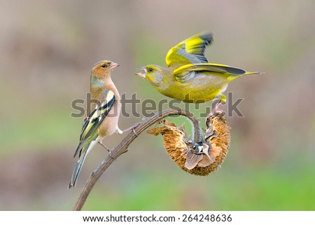 Greenfinch and chaffinch fighting on a sunflower - stock photo