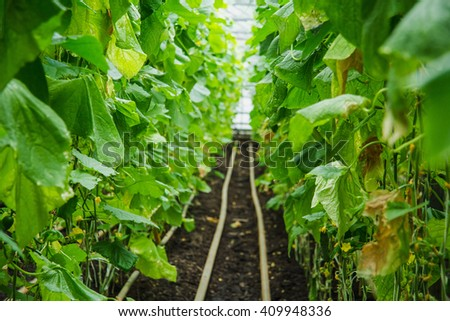 greenhouse cucumbers industry