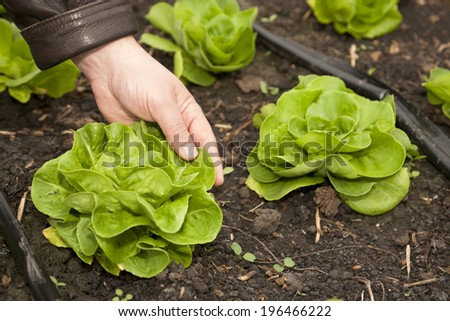 Greenhouse for vegetables and plant nursery - lettuce - stock photo