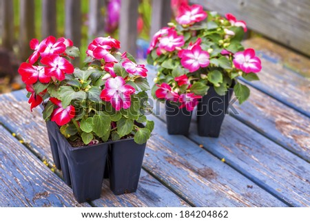 Greenhouse grown pack containing seedlings of impatiens plants (Impatiens wallerana)plants ready for transplanting into a home garden - stock photo