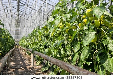 Greenhouse  pepper plants. - stock photo