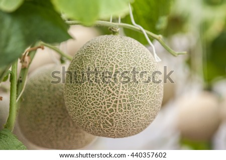 Greenhouse planted melon fruit  - stock photo
