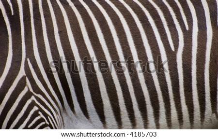 Grevy's Zebra - stock photo