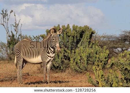 Grevy's Zebra and Euphorbia plats in Laikipia, Kenya - stock photo