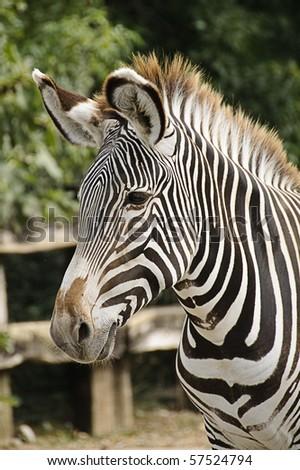 Grevy's zebra (Equus grevyi), also known as Imperial zebra - stock photo