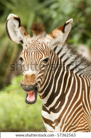 Grevy Zebra Calf - stock photo