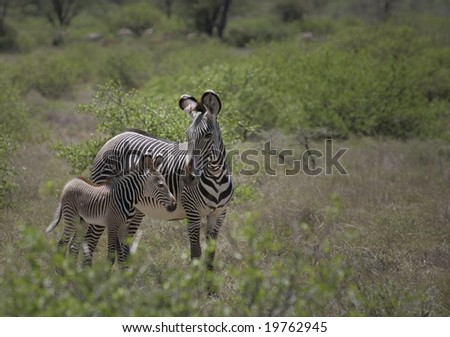 grevy zebra with young - stock photo