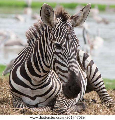 Grevys zebras is most endangered of species of zebra.  - stock photo