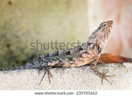 grey agama lizard sitting on a stone