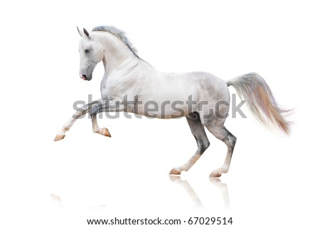 grey akhal-teke horse isolated - stock photo