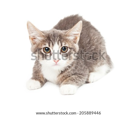 Grey and white eight week old kitten laying looking directly into camera - stock photo