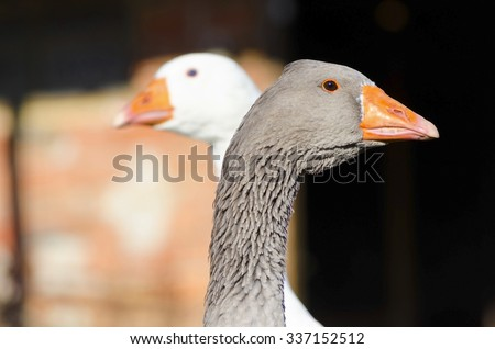 Grey and white goose in a countryside farm. Selective focus - stock photo