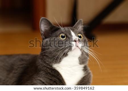 Grey and white kitten - stock photo