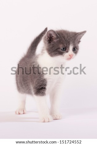 Grey and white kitten interested in something to the right on white background