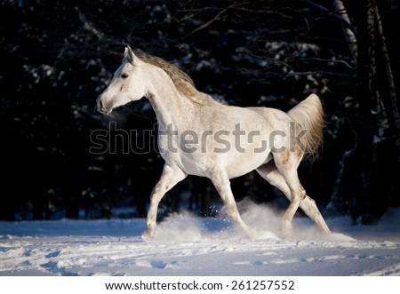 grey arab horse runs free in winter - stock photo