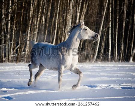 grey arab horse runs in winter field - stock photo