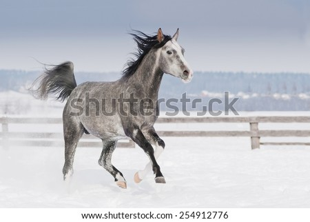 grey arab horse with white head runs trot in winter snowy field - stock photo