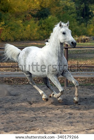 Grey arabian horse runs gallop in the farm  - stock photo