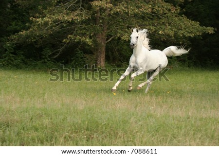 Grey arabian stallion running - stock photo