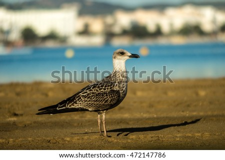 Grey beaked yellow-legged gull on sandy beach of Sant Antoni de Portmany, Ibiza.