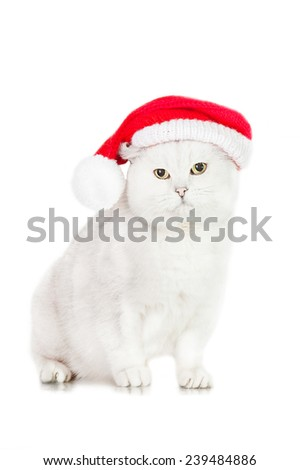 Grey british shorthair cat dressed in a christmas hat